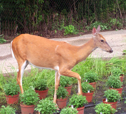 Deer in a home garden