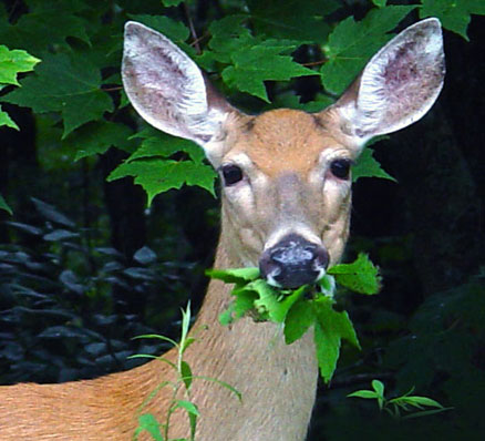 Deer eating garden plants