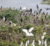 Herons/egrets nesting