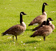 Canada Goose mens outlet discounts - Get rid of Geese | Bird-X