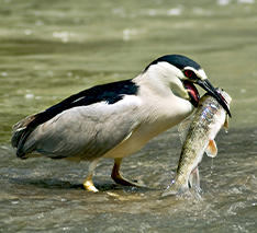 heron with large fish