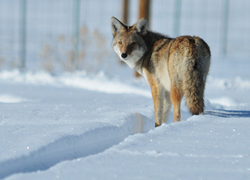 Bird-X Discusses Increasing Urban Coyote Population in New Blog Post