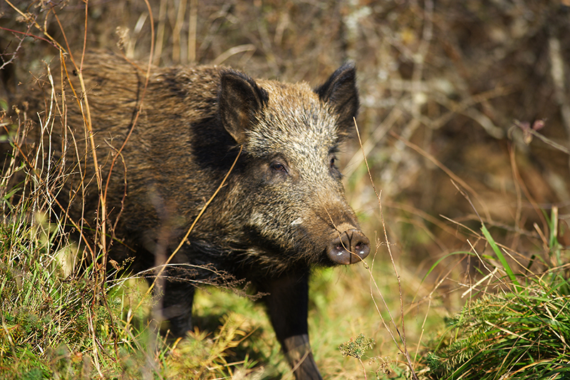 A New Kind of Wild Boar Repellent?