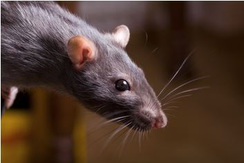 "Are ""Mutant Super Rats"" Taking Over Western Civilization?"