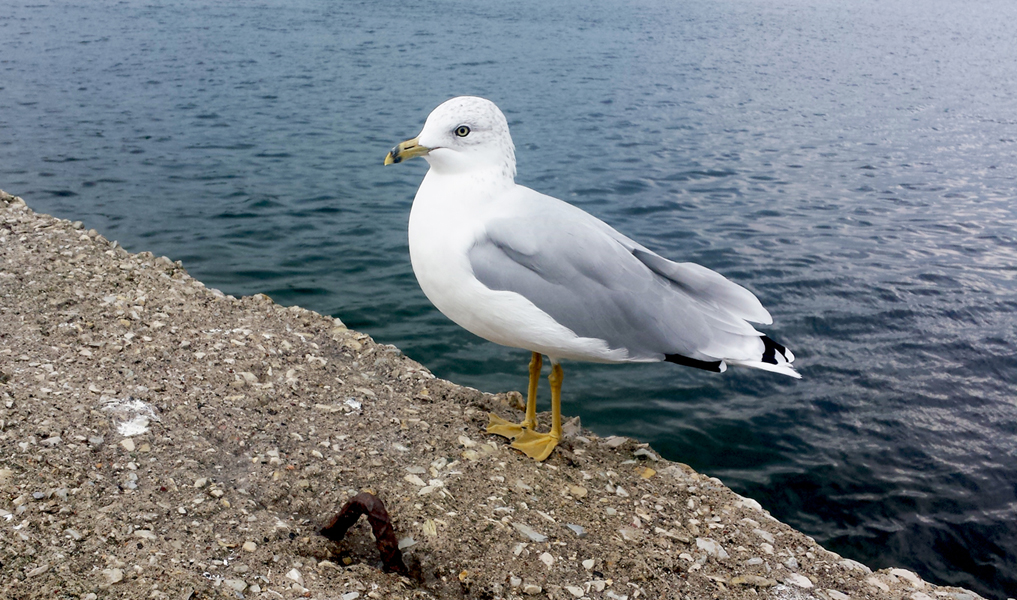 Dawn of the Gulls: Recent Reports of Seagull Attacks Raises Questions – Why Are Our Seagulls Suddenly So Angry?