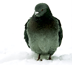 What are some products that can be used to repel pigeons?