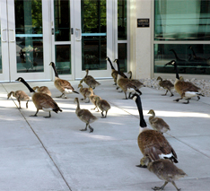 pest geese office building