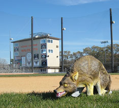3D-Coyote keeps birds out of sports field