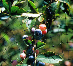 Bird netting blueberry crop application