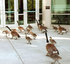geese on corporate grounds