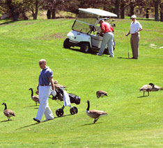 geese on golf course