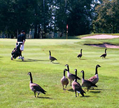 geese invade the green