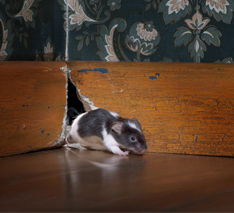 mouse sneaking into house