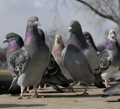 pest pigeons on ledge