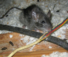 rat gnawing wire