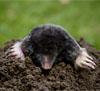 pest-mole