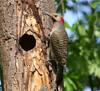 woodpecker-flicker-tree