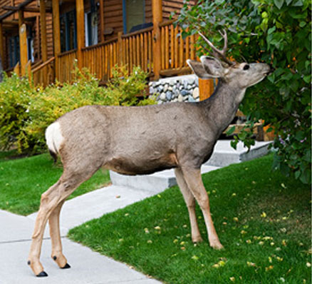 Pest deer near house, destroying bushes