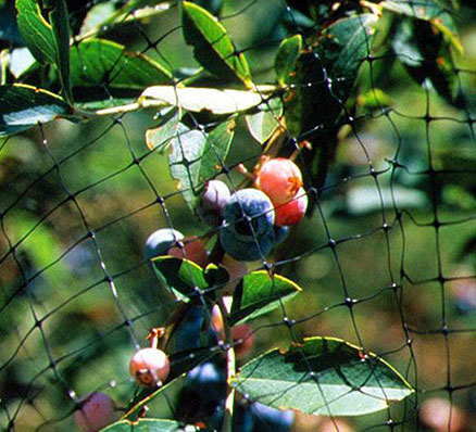 Standard bird netting protects fruit