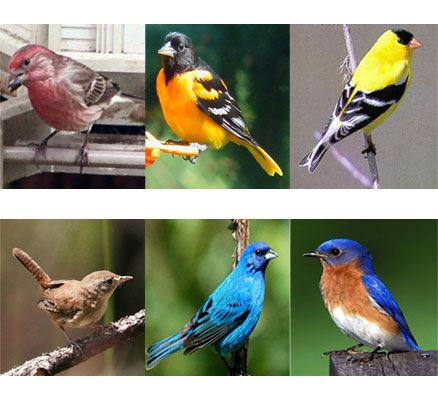 some of the songbirds the magnet attracts